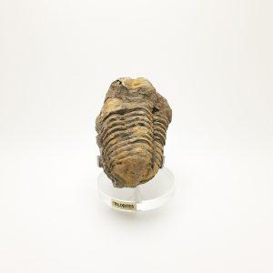 Trilobite Fóssil