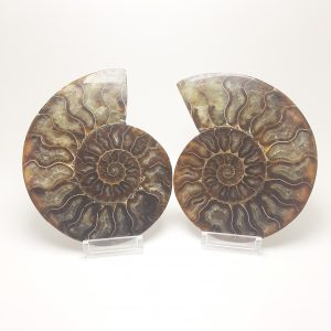 Ammonite do Madagascar